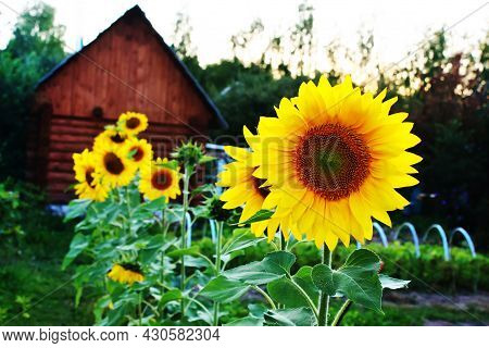 Yellow Sunflowers On A Background Of A Wooden House. Rural Scene In Saturated Colors