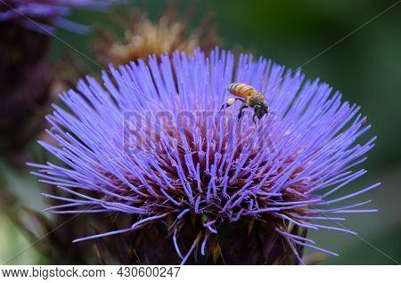 A Bee Pollinating A Purple Artichoke Thistle,also Known As Globe Artichoke