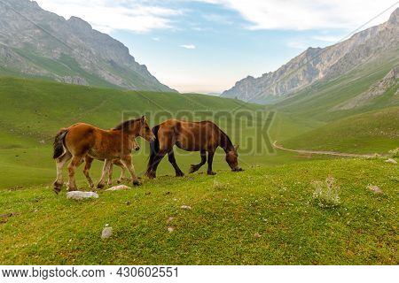 Two Young Horses And One Adult Free Grazing On The Mountain. Picos De Europa Park, Spain.