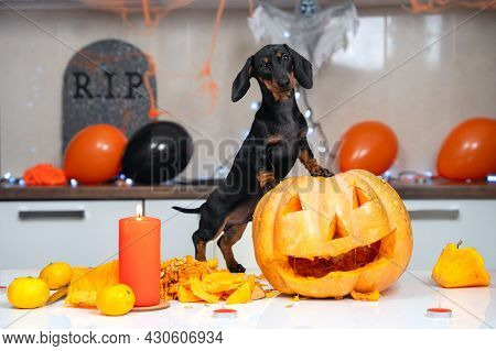 Funny Playful Dachshund Puppy Put His Paws On Ripe Pumpkin, He Is In The Process Of Making A Lantern