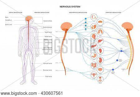 Sympathetic And Parasympathetic Nervous Systems. Diagram Of Brain And Nerves Connections. Autonomic