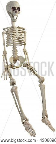 Seated Skeleton Three Quarter View With Bent Knees