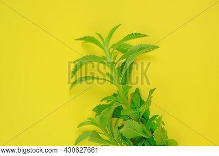 Stevia Rebaudiana. Branches Of Stevia On Bright Yellow Background.stevia Plant.alternative Low Calor