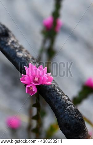 Pink Flowers Of The Native Rose, Boronia Serrulata, Growing Amongst Burnt Blackened Tree Branches. T