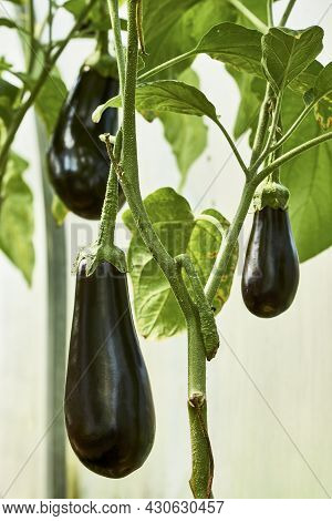 Greenhouse With Aubergine Vegetable, Close-up