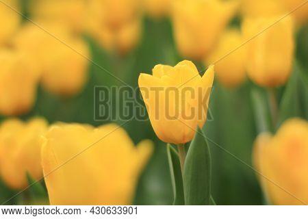 A Shooting Of Tulipa, Freeman Bloom In A Garden In April