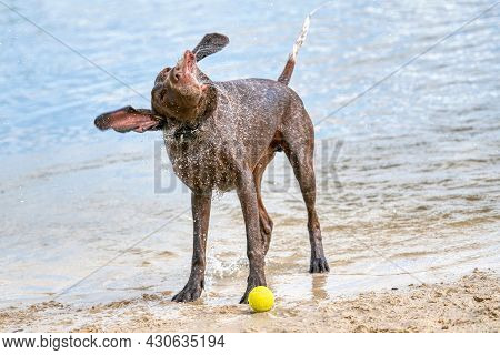 Detailed German Shorthaired Pointer Stands On The Sand. The Dog Shakes Off After Swimming In The Blu