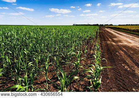 Corn Field In Summertime. Landscape Image Of Green Corn Field With Blue Sky. Countryside Scene With