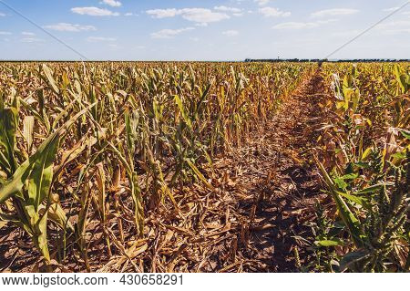 Devastated And Dry Corn Field Because Of Long Drought In Summer.