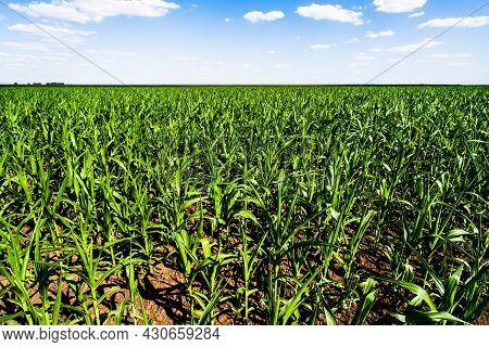 Corn Field In Summertime. Landscape Image Of Green Corn Field With Blue Sky.