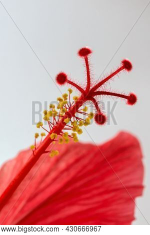 Red Flower Hibiscus Syrian Rose Close Up On Gray Background Macro Photography