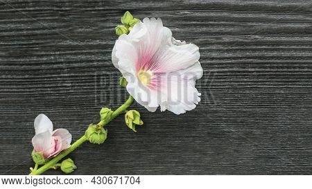 White Musk Mallow Flower On Wooden Background.shooting On A Sunny Summer Day. Garden Mosquito Mallow
