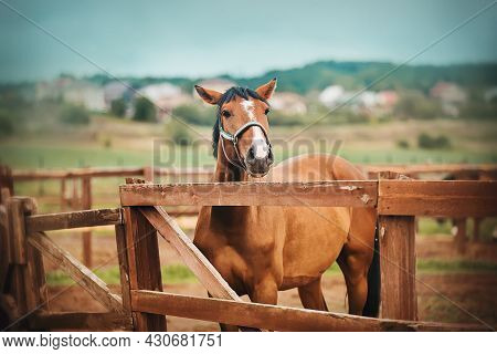 A Beautiful Bay Horse Stands In A Paddock With A Wooden Fence On A Farm, And Against The Background