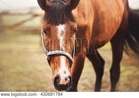 Portrait Of A Beautiful Bay Horse With A Dark Mane And A Long Tail, Which Is Grazing In A Paddock On