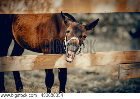 A Funny Foal Of A Sports Horse Walks In Levada. Portrait Of A Brown Colt. The Sports Foal In A Halte