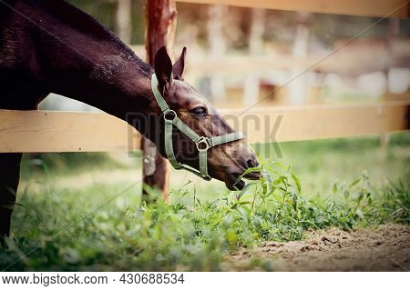 The Foal Of A Sports Horse Is Drawn To The Grass. A Foal Of A Sports Horse Eats Grass. Portrait Of A