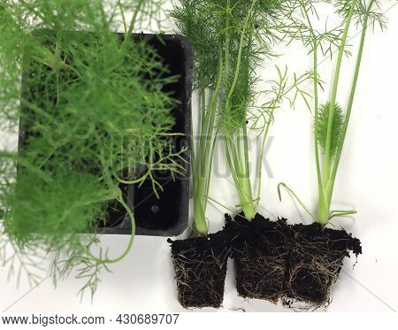 Fennel In Black Tubs For Sale And Transplantation In The Home Home