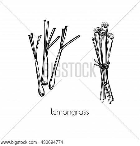 Lemongrass Sketch Black In Doodle Style On White Background. Outline Vector Illustration. Art Graphi