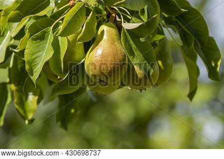 Fresh Pears Growing On A Branch Of Common Pear (pyrus Communis) During Late Summer