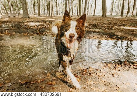 Dirty And Happy Border Collie Dog Playing In A Mud Puddle On Summer And Spring Season