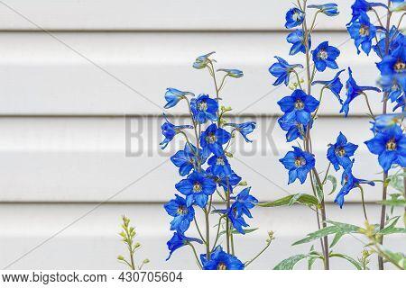 Large-flowered Livestock Or Delphinium (delphinium Grandiflorum), Herbaceous Plant Genus Larkspur Of