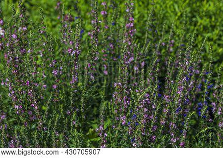 Verbena Sage (salvia Verbenaca) Is Perennial Plant, Species Of Genus Sage Of Lamiaceae Family. Purpl