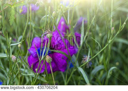 Petunia (petun - Tobacco) Is Genus Of Herbaceous Or Semi-shrub Perennial Plants Of Solanaceae Family