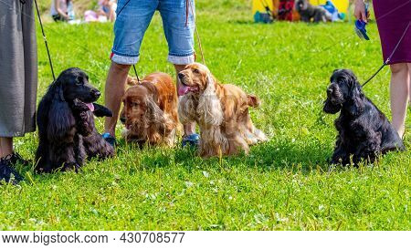 Black And Brown American Cocker Spaniel Dogs Near Their Owners During A Walk In The Park