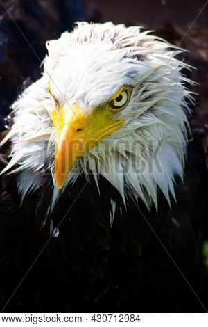 An American Bald Headed Eagle Perched In The Rain With An Evil Stare.