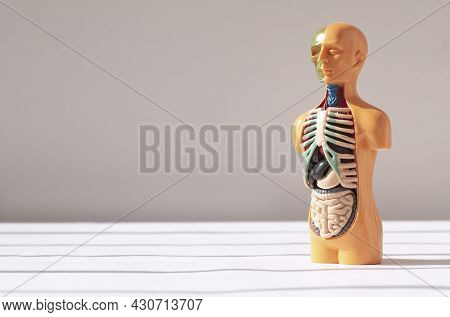 3d Human Model With Inner Organs. Medical Anatomical Concept. Anatomy Banner With Copy Space For Tex