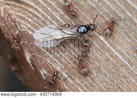 Macro Of The Colorado Field Ant Queen Emerging On Wood