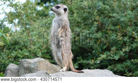 Meerkat Guard On A Rock. In The Background Are Trees.