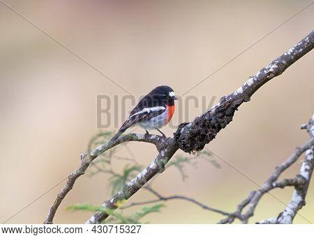 A Wild Male Scarlet Robin Standing On A Branch Taken In Tasmania, Australia