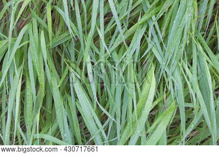 Close Up Shot Of Grass With Dew On It In The Morning. Textured Photo.