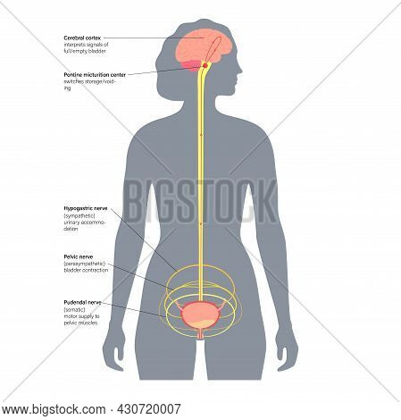 Micturition Neural Control Function In Female Silhouette. Signals From Brain To Bladder In Human Bod