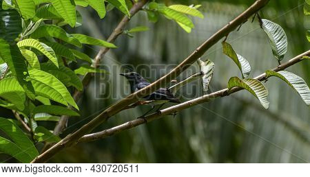 Oriental Magpie Robin Bird Perched On A Guava Tree Branch In The Garden.