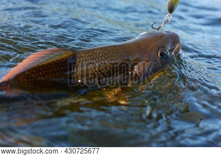 Grayling Caught And Hooked From Arctic River  By Fisheman In Lapland In Sweden In Kiruna In August 2