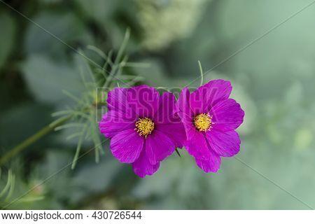 Summer Flowers Pink Cosmea Flowers - In Latin Cosmos Bipinnatus