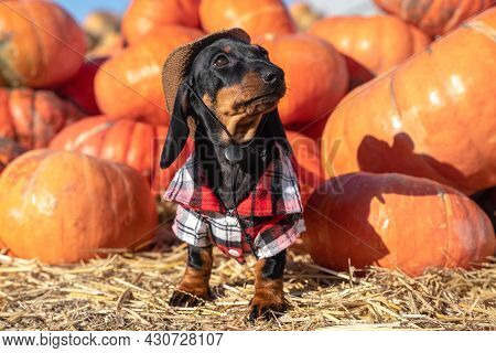 Lovely Dachshund Puppy In Plaid Shirt And Wide-brimmed Hat Looks Like A Real Farmer Who Has Collecte