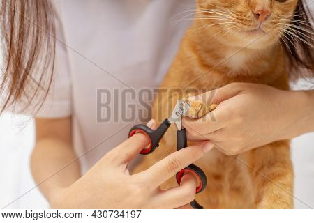 Cat Owner Is Cutting Nails For Ginger Cat, Ginger Cat's Paws, The Device For Trimming Cat's Nails.
