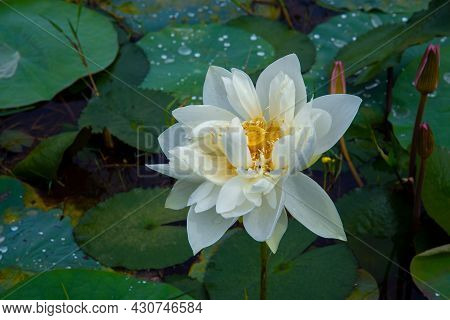 Nature Photography -  White Lotus Flower With Green Leaves, The Photography Of A Beautiful White Lot