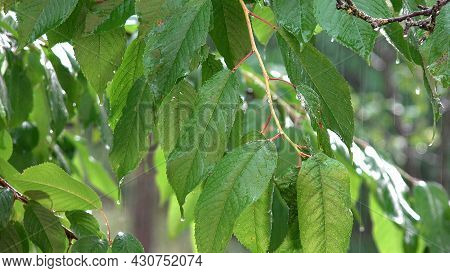 Raining, Torrential Rain, Storm, Summer Rainy Day On Cherry Branches Tree, Stormy In Nature, Bad Wea