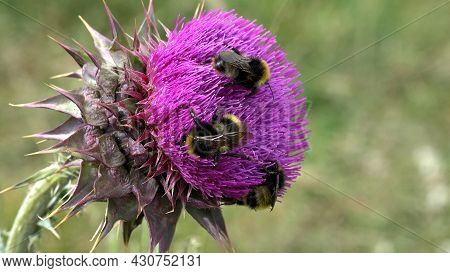 Flying Bumble Bees Insects Collecting Pollen On Thorns Flower, Pollinating Thistles, Mountains Deser