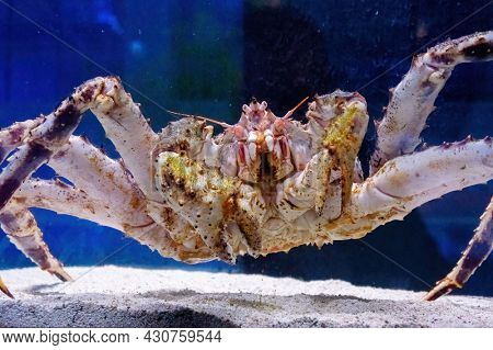 Kamchatka crab in the aquarium of the fish Department of the market. Delicacies from the sea. Red Alaskan king crab. Paralithodes Camtschaticus