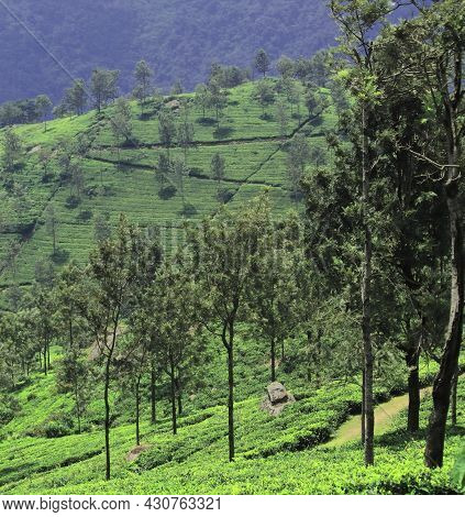 Beautiful Tea Garden On The Slope Of The Nilgiri Mountains At Coonoor Near Ooty Hill Station In Tami