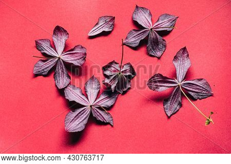 clematis flowers on the pink background