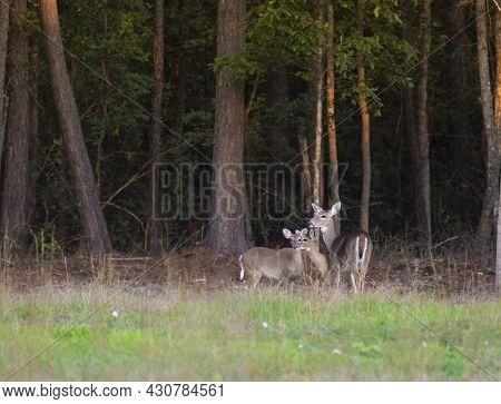 Three Whitetail Deer Outside Raeford In North Carolina