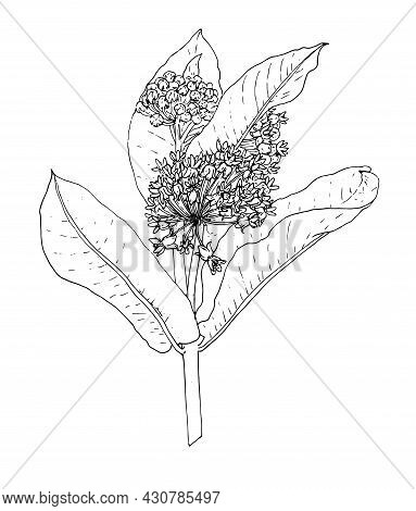 Asclepias Vector Drawing In A Realistic Style. A Sketch-style Asclepias Twig With Leaves And Flower