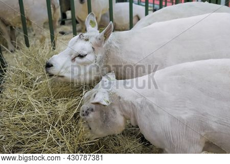 Flock Of White Texel Sheep Eating Hay At Agricultural Animal Exhibition, Small Cattle Trade Show. Fa