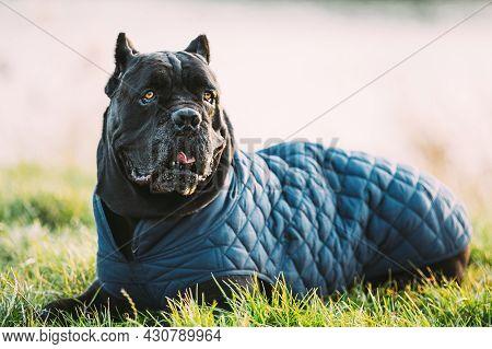 Black Cane Corso Dog Sitting In Grass. Dog Wears In Warm Clothes. Big Dog Breeds.